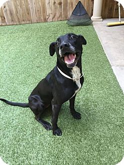 American Pit Bull Terrier Mix Dog for adoption in Covington, Louisiana - Faith