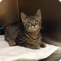 Domestic Shorthair Kitten for adoption in Triadelphia, West Virginia - H-8