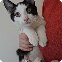 Domestic Shorthair Kitten for adoption in Bethesda, Maryland - Denali
