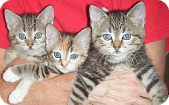 Domestic Shorthair Kitten for adoption in Kensington, Maryland - Timmy, Tommy and Dotty