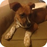 Boxer Mix Puppy for adoption in Modesto, California - Riggs