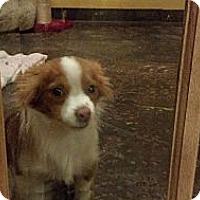 Adopt A Pet :: Waffles - Brattleboro, VT