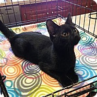 Adopt A Pet :: Shadow - Pace, FL