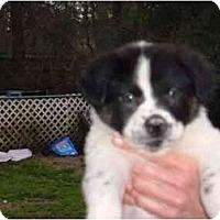 Adopt A Pet :: Lots of PUPPIES - No.Charleston, SC