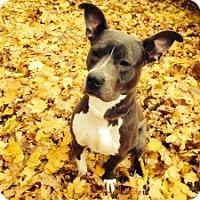 Adopt A Pet :: Blue - Medford, MA