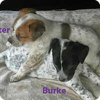 Adopt A Pet :: Burke - House Springs, MO