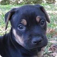 Adopt A Pet :: Paul Patrick~Puppy! - St Petersburg, FL