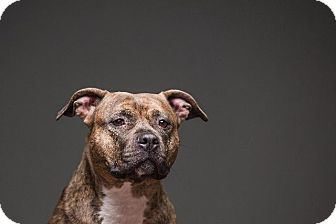 Pit Bull Terrier Dog for adoption in Berea, Ohio - Carmella