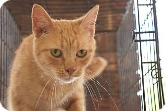 Domestic Shorthair Cat for adoption in Flushing, Michigan - Pumpkin