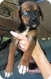 Hound (Unknown Type)/Catahoula Leopard Dog Mix Puppy for adoption in Freeport, Florida - Ravioli