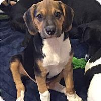 Hound (Unknown Type) Mix Puppy for adoption in Colmar, Pennsylvania - Zane