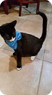 Domestic Shorthair Kitten for adoption in Bridgewater, New Jersey - TUX