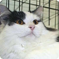 Maine Coon Cat for adoption in Germantown, Maryland - Cinderella