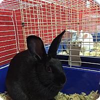 Adopt A Pet :: Nibbles - Elyria, OH