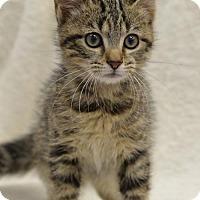 Domestic Shorthair Kitten for adoption in Atlanta, Georgia - Poker 162053