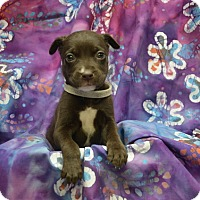 Labrador Retriever Mix Puppy for adoption in Alexandria, Virginia - Ghirardelli (Chocolate Crew)
