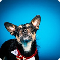 Terrier (Unknown Type, Small) Mix Dog for adoption in Seattle, Washington - Walter