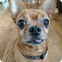 Adopt A Pet :: Chili - Caledon, ON
