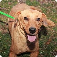 Adopt A Pet :: Honey - Youngsville, NC