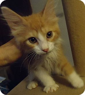 Domestic Mediumhair Kitten for adoption in Jacksonville, Florida - Gabe