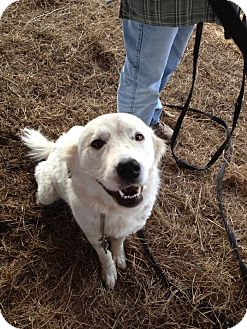 Great Pyrenees Mix Dog for adoption in Stilwell, Oklahoma - Appy