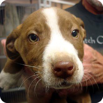 Brattleboro Vt Labrador Retriever American Staffordshire Terrier Mix Meet Rudolph A Puppy