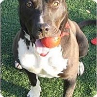 American Staffordshire Terrier/Labrador Retriever Mix Dog for adoption in Toluca Lake, California - Jesse James
