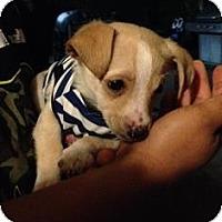 Adopt A Pet :: Hashbrown - Tustin, CA