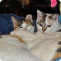 Exotic Cat for adoption in O'Fallon, Missouri - Deneuve and Chiara