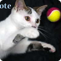 Adopt A Pet :: Coyote - 13054 - Richardson, TX