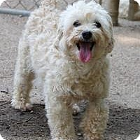 Poodle (Standard) Dog for adoption in Memphis, Tennessee - Tootsie
