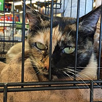 Calico Cat for adoption in San Fernando Valley, California - Eloise