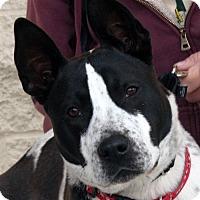 Adopt A Pet :: Shilo - Palmdale, CA