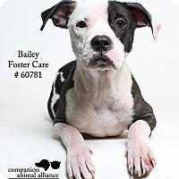 Adopt A Pet :: Bailey (Foster) - Baton Rouge, LA