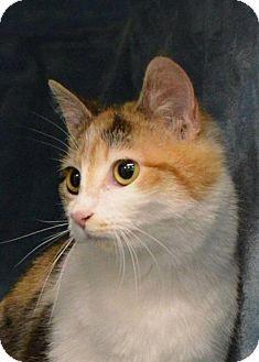 Domestic Shorthair Cat for adoption in Morgantown, West Virginia - Olivia