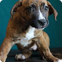 Adopt A Pet :: Ashlyn - Waldorf, MD