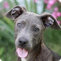 Adopt A Pet :: Kizzy - Bedminster, NJ