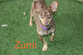 Chihuahua/Dachshund Mix Dog for adoption in San Antonio, Texas - Zumi