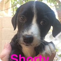 Adopt A Pet :: Shorty - Las Vegas, NV