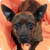 Adopt A Pet :: Odessa Feist - St. Louis, MO
