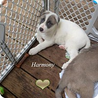 Adopt A Pet :: Harmony - Clemmons, NC