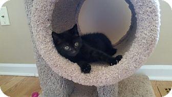 Domestic Shorthair Kitten for adoption in Turnersville, New Jersey - Elliot