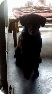 Labrador Retriever Mix Dog for adoption in Livingston Parish, Louisiana - Gillie