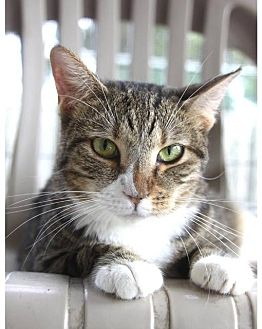 American Shorthair Cat for adoption in New Bern, North Carolina - Betty Boop