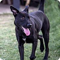 Labrador Retriever Mix Dog for adoption in Von Ormy, Texas - Bella