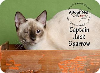 Domestic Shorthair Cat for adoption in Houston, Texas - Captain Jack Sparrow