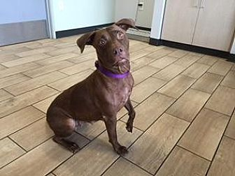 American Pit Bull Terrier Mix Dog for adoption in Scottsdale, Arizona - Bullet