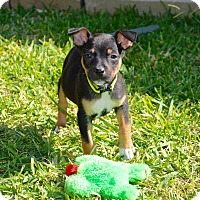 Adopt A Pet :: Lola - Aubrey, TX