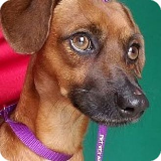 Dachshund Mix Dog for adoption in Houston, Texas - Ronny Runway