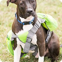 Adopt A Pet :: Domino, Ready to Roll - Seattle, WA